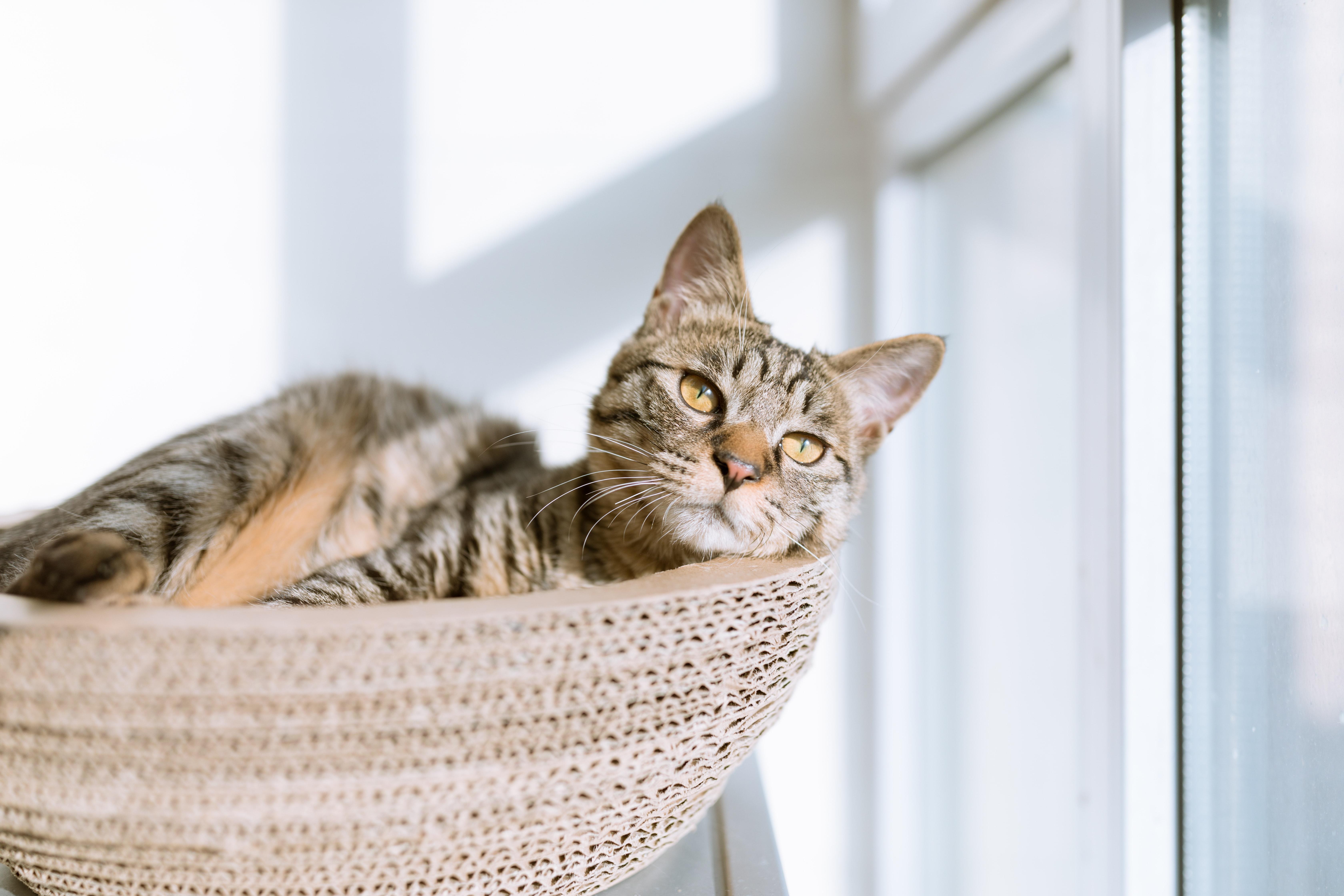 cat laying basket sunshine